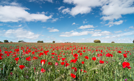 Photo pour Beautiful red poppy flowers in a field with a blue sky - image libre de droit