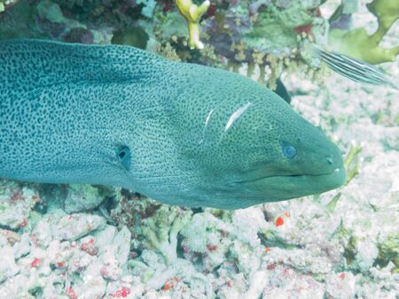 A moray eel (muraenidae), coming out of a hole in the Red Sea off the coast of Yanbu, in Saudi Arabia.