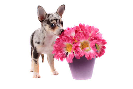Cute little black spotted chihuahua smelling pink flowers on a white background