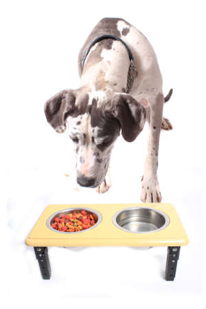 Great Dane with spotted fur lookiing or sniffing  dog food in a bowl isolated on a white background