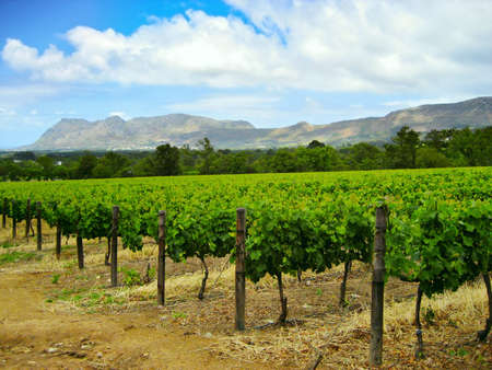 rows of grave vines set against a mountainous backdrop South Africa