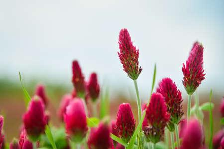 Photo pour Blooming field of red clover - image libre de droit