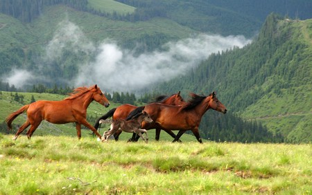 Wild horses in Romanian mountain Rodna