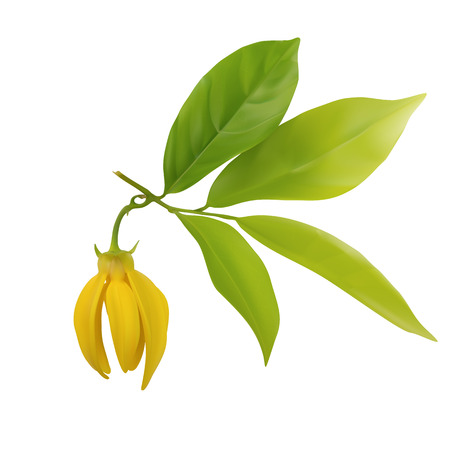 Ylang-ylang flower with leaf isolated on white background,vector ...