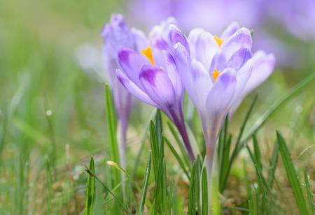 Magenta crocus flower blossoms at springtime
