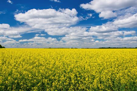 Photo pour Picturesque canola field under blue sky with white fluffy clouds. Wonderful image for wallpaper, agricultural and ecological concept - image libre de droit