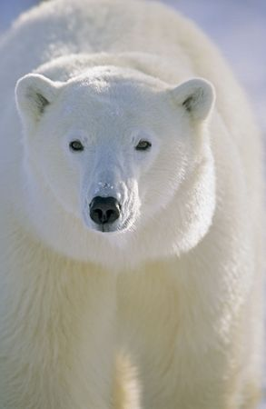 Polar Bear (Ursus maritimus) Churchill, Manitoba, Canada 10/03 © Hal Brindley