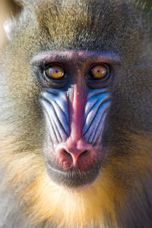 Mandrill (Mandrillus sphinx) portrait, captive. Barcelona Zoo, Spain.