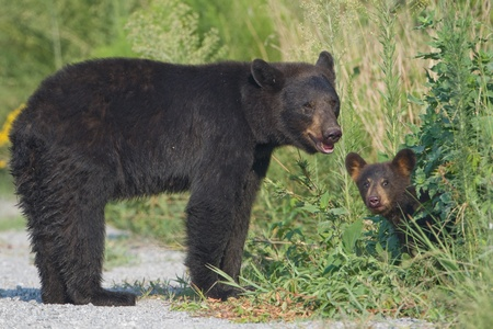 Black bear (Ursus americanus) mother standing in the road with young cub peeking out from th