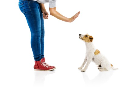 Photo pour Young woman training cute parson russell terrier dog isolated on white background - image libre de droit