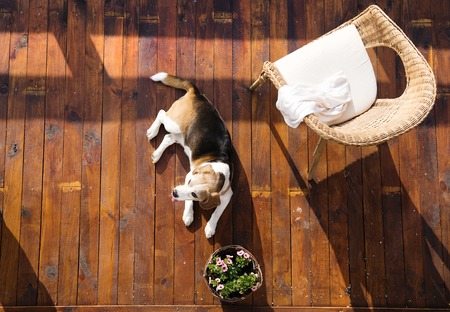 Dog lying on a wooden terrace of a family house.