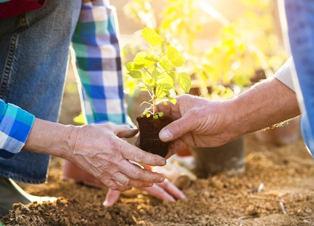 Photo for Senior couple planting seedlings in their garden - Royalty Free Image