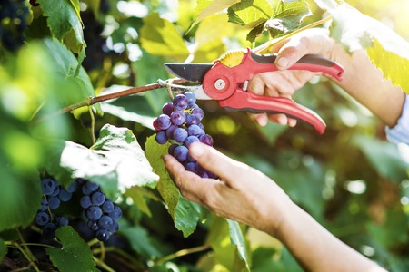 Hands of a woman cutting a bunch of grapes