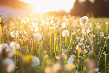 Photo pour Close up of green summer meadow at sunset full of dandelions . Nature background. - image libre de droit
