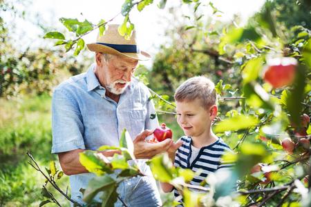 Foto de A senior man with grandson picking apples in orchard in autumn. - Imagen libre de derechos
