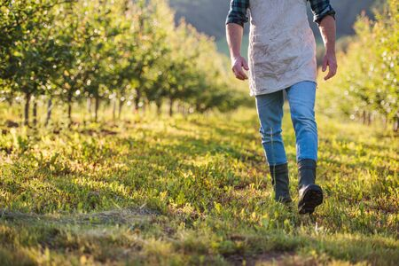 Photo for A midsection of mature farmer walking outdoors in orchard. Copy space. - Royalty Free Image