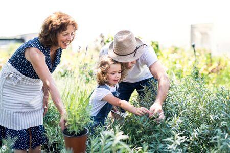 Photo pour Senior grandparents and granddaughter gardening in the backyard garden. - image libre de droit