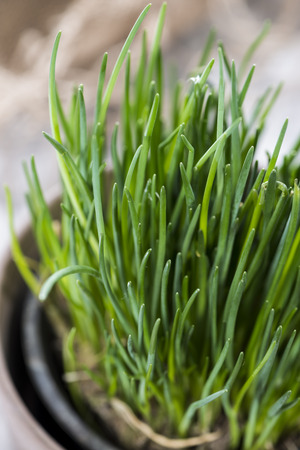 Fresh Chive plant on vintage background (close-up shot)