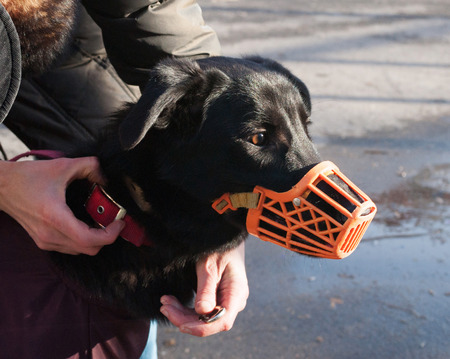 Black little dog in orange muzzle