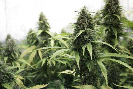 Foto de medical marihuana, cannabis flower buds - Imagen libre de derechos