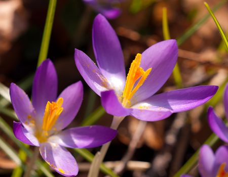 two crocuses