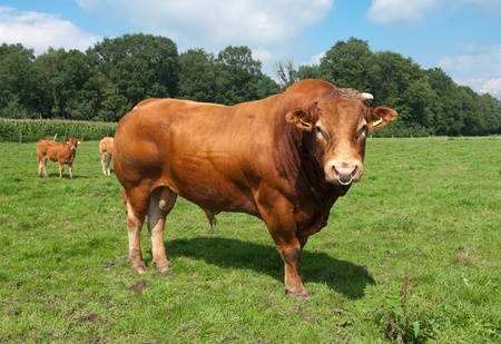 very impressive limousine bull in a dutch meadow