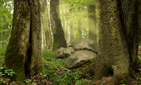 Forest with old mossy trees rocks mist