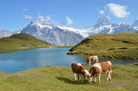 Cows in an Alpine meadow  Jungfrau region Switzerland