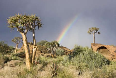 Colorful rainbow with quiver trees on a hill in South Africa