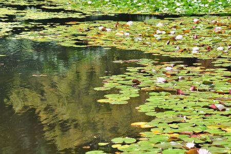 Photo pour A view of Water lily pond. Vancouver BC Canada - image libre de droit