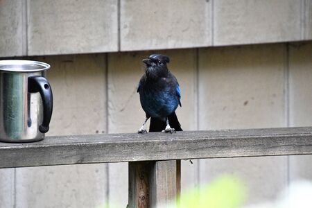 A view of steller jay searching the food. Vancouver BC Canada
