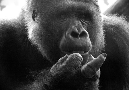 ape shows finger