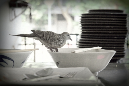 A pigeon, In Thailand they  live in the city and eating with people in university canteen
