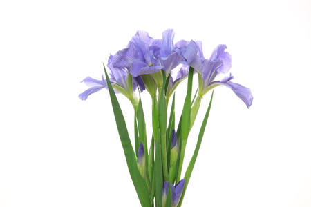 Photo for iris in a white background - Royalty Free Image