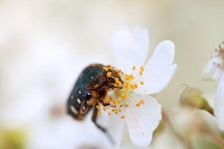 Photo pour a flower chafer on the wild rose - image libre de droit