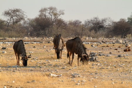 Wildebeest in the savannah of the Etosha Park in Namibia