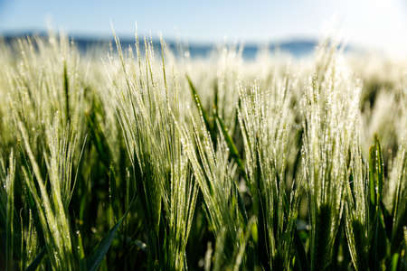 Photo pour Agriculture with wet barley in the morning - image libre de droit