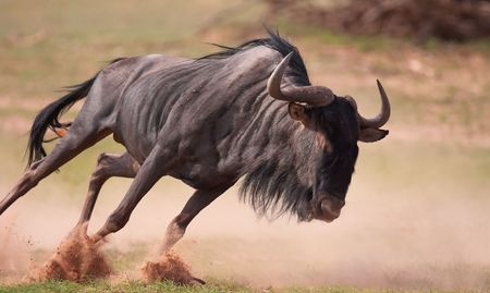 Blue wildebeest (Connochaetes taurinus) running in savannah in South Africa