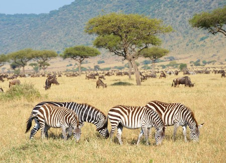 Herd of zebras (African Equids) and Blue Wildebeest (Connochaetes taurinus) grazing in nature reserve in South Africa