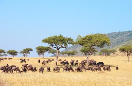 Blue wildebeest (Connochaetes taurinus) feeding in savannah in South Africa