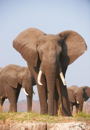 Large African elephants (Loxodonta Africana) eating in savanna in Botswana