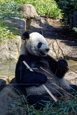 Photo for Giant panda is a conservation-reliant vulnerable species. - Royalty Free Image