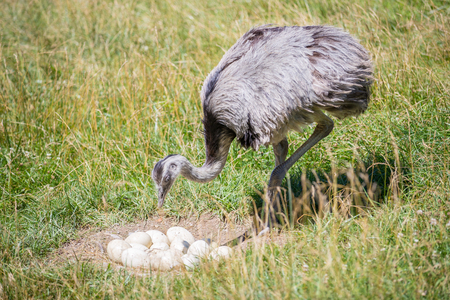 Photo pour Domesticated wild african ostrich (struthio camelus) in an aviary on a ostrich farm guards his eggs. Wild ostriches on a bird farm. Outdoors. - image libre de droit