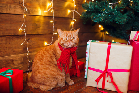 Ginger british cat in red knitted scarf sitting under Christmas tree and present boxes.