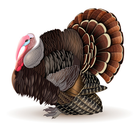 Vector illustration of thanksgiving Turkey-cock. Vector male Turkey.