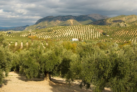 Olive plantation in wide, solitary Andalusian landscape