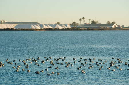 Water birds swimming in front of a salt refinery