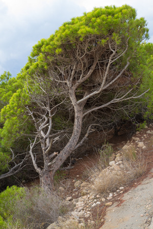 A  windswept Mediterreanean pine tree with its tilted trunk