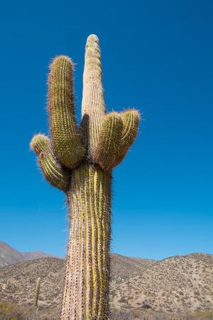 Cacti inl Los Cardones National Park, Argentina
