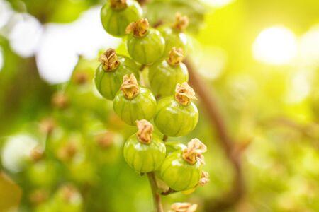 Foto de green young berries of red currant on a background of the sun, closeup - Imagen libre de derechos